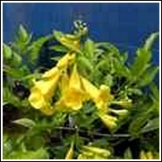 Yellow Bells -<br>Tecoma stans