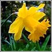 Yellow Daffodil Bulb