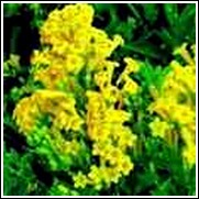 Yellow Jessamine Shrub -<br>Cestrum aurantiacum