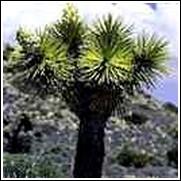 Joshua Yucca