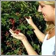 Florida Seminole Blackberry Plant