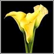 Yellow Hybrid Calla Lily