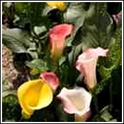 Z-to-A Mixture Calla Lily
