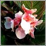 Pink Sunburst Canna Lily Bulb