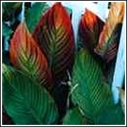Tropicanna Canna Lily Bulb