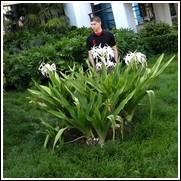 Crinum asiaticum 'Variegata' Crinum