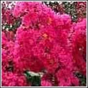 Choctaw Pink Crape Myrtle