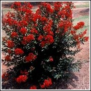 Red Rooster Crape Myrtle