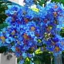 True Blue Crape Myrtle Tree