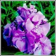 Calypso Purple Oleander