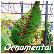 Rojo Red Banana Tree