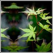 Japanese Green Leaf Maple Tree