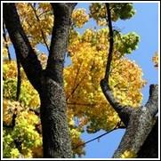 buy black oak trees