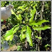 Chapman Oak