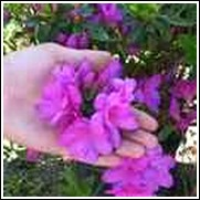 Easter Morn Formosa Azalea Shrub