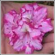 Gay Paree Formosa Azalea Shrub