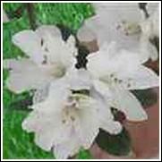 H H Hume Formosa Azalea Shrub
