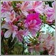 Peppermint Formosa Azlaea
