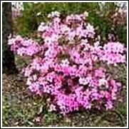 Pink Formosa Azalea Shrub