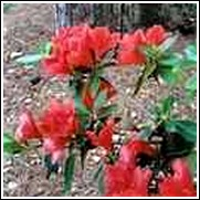 Red Formosa Azalea Shrub