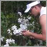 White Formosa Azalea Shrub