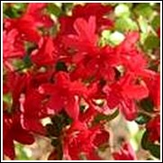 Wolf Pack Red Azalea Shrub