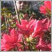 Christmas Cheer Azalea Shrub