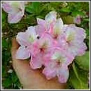 Pink Horizon Azalea Shrub