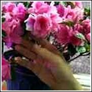 Pink Ruffles Azalea Shrub