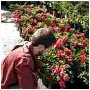 Red Ruffles Azalea Shrub