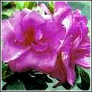 Happy Days Nuccio Azalea Shrub