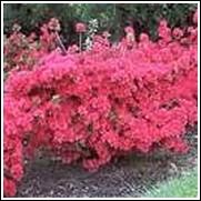 Hino Crimson Azalea Shrub