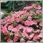 Gumpo Pink Azalea Plant