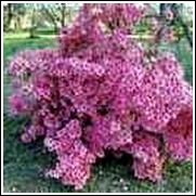 Wakaebisu Azalea Shrub Plant