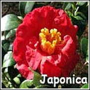 Don Mac Red Camellia