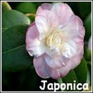 Dr. Tinsley Pink Camellia