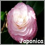 Grace Albritton Camellia