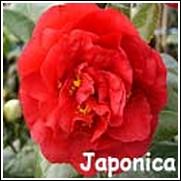 Kramer Supreme Red Camellia