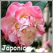 Mrs. Lyman Clarke Camellia