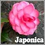 Marie Bracey Camellia