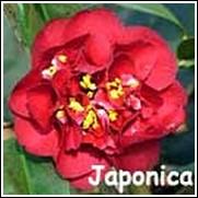 Maroon & Gold Camellia