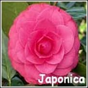 Mathoniana Supreme Red Camellia