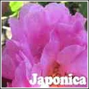 Pink Peony' Camellia japonica