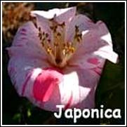 Pink Stripe Camellia