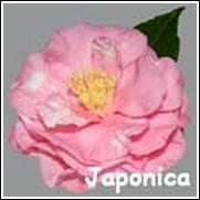Rena Swick Camellia