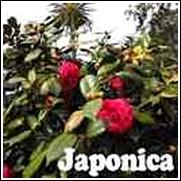 Rosea plena Camellia