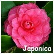 Rubra Red Camellia