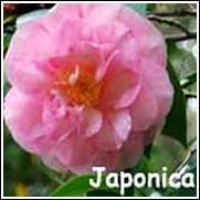 Spring Sonnet Camellia