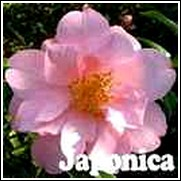 Taylors Perfection Camellia