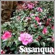Deep Pink Camellia
